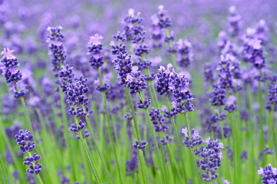 Furano Lavendel