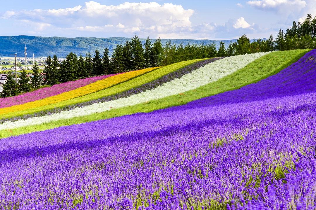 Furano Lavendelfeld