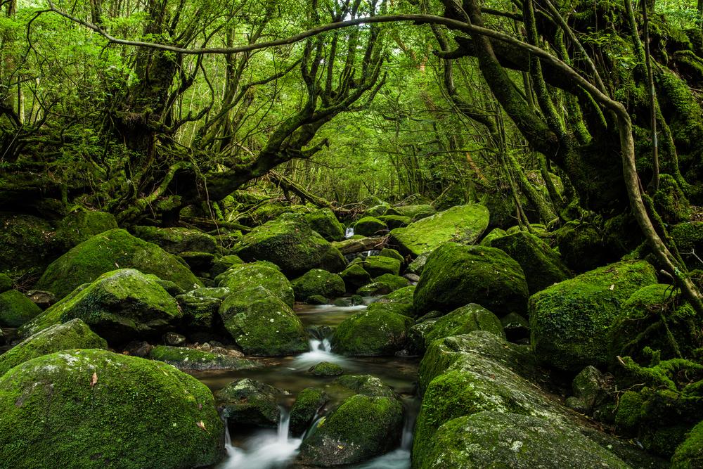 Yakushima Wald